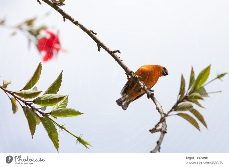 Nature Vacation & Travel Red Leaf Relaxation Bird Orange Sit Travel photography Break Branch Exotic Sparrow Restful Composing Seychelles