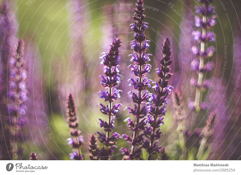 Purple flowers Environment Nature Plant Summer Blossom Blossoming Fragrance Natural Wild Green Violet Idyll Colour photo Subdued colour Exterior shot Detail