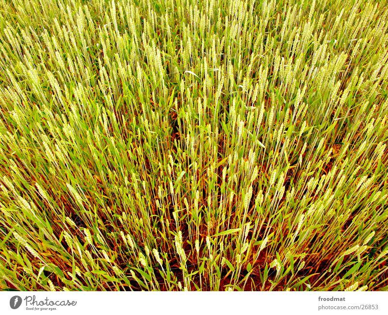 explosive grain Wheat Field Blade of grass Bird's-eye view Explosive Grain Beautiful weather Crazy