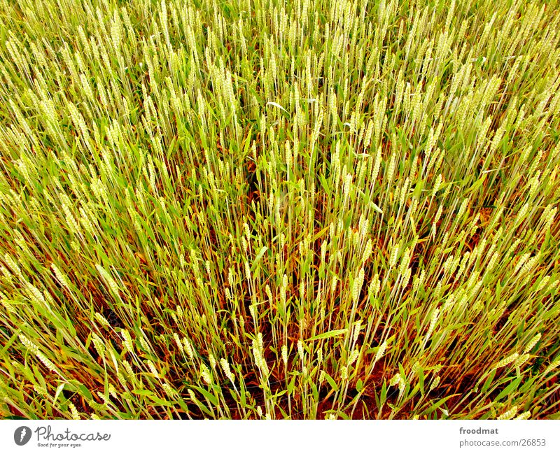 Field Crazy Blade of grass Grain Beautiful weather Wheat Explosive