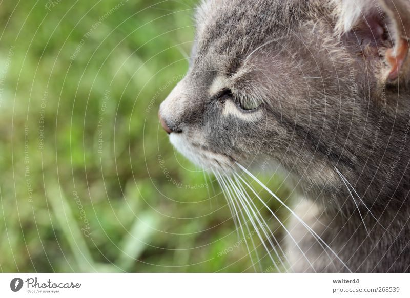 Cat Green Animal Spring Grass Gray Garden Observe Ear Pelt Animal face Pet Domestic cat Whisker