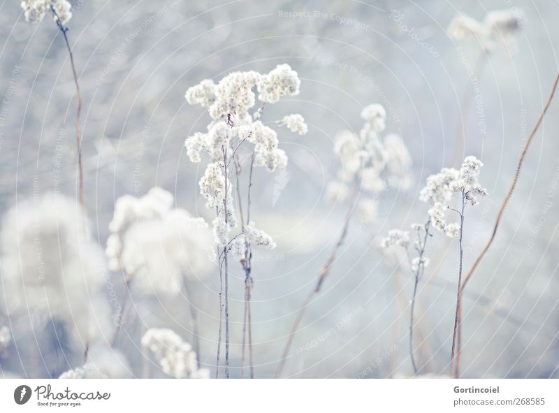 frost Environment Nature Plant Winter Grass Bushes Blossom Lakeside Bright Cold Common Reed Colour photo Subdued colour Exterior shot Copy Space bottom