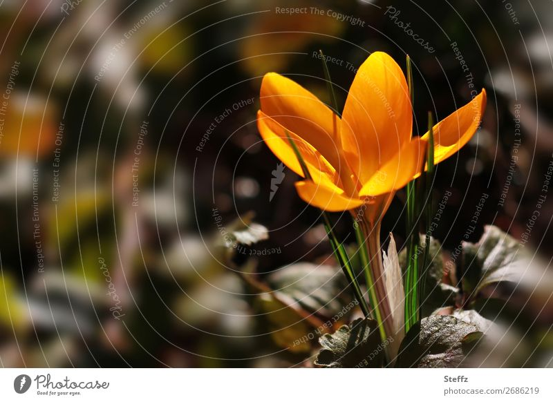 Golden Crocus Environment Nature Plant Spring Leaf Wild plant Blossom leave Spring flower Spring flowering plant Spring crocus Garden Park Blossoming Growth