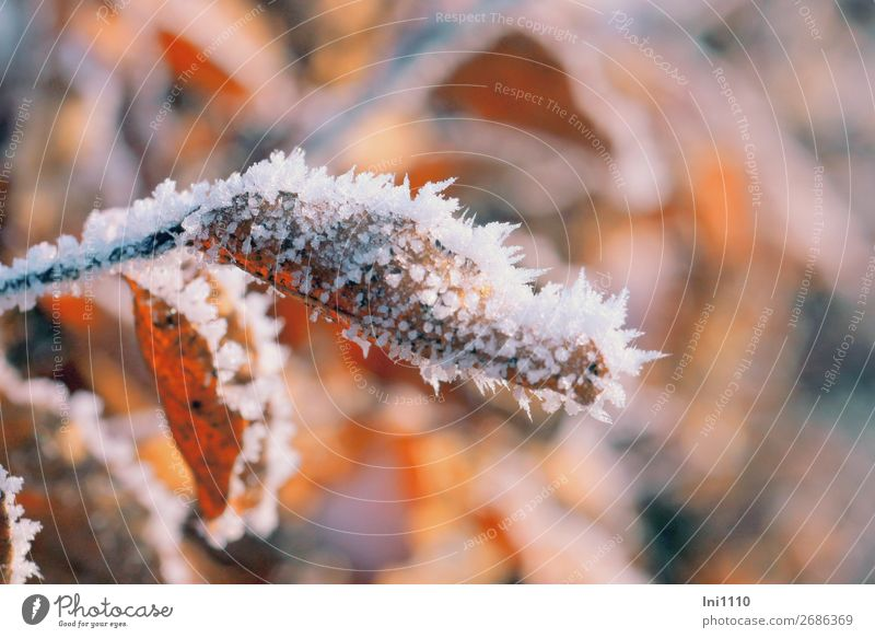 Leaves with hoarfrost Nature Sun Autumn Beautiful weather Ice Frost Leaf Garden Park Forest Brown Yellow Gray Orange Black White Hoar frost Ice crystal