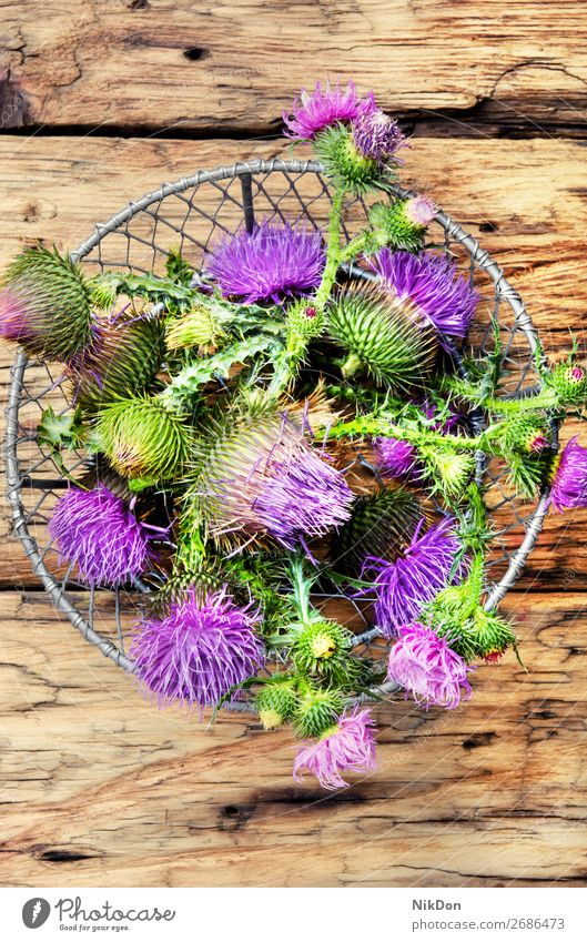 milk thistle flower herbal Silybum marianum blossom plant wild medicinal thorn weed bud bloom alternative remedy spike pistil therapeutic floral purple petal
