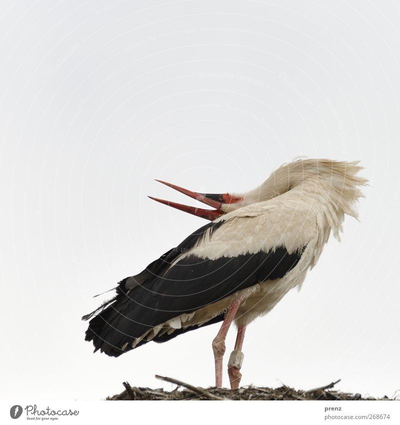 Sky Nature White Animal Black Environment Gray Bird Wild animal Birth Stork White Stork Stork village Linum