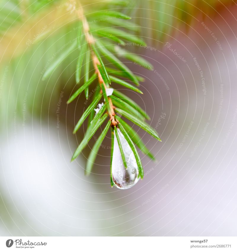 Nature Christmas & Advent Plant Green Tree Forest Winter Cold Frost Christmas tree Square Fir needle Icicle Spruce Fir branch