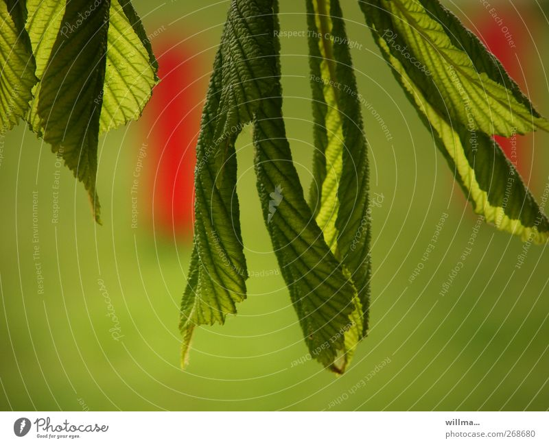 Nature Green Red Plant Leaf Environment Spring Beginning Fresh Growth Blossoming Hang Juicy Faded Make green Chestnut tree