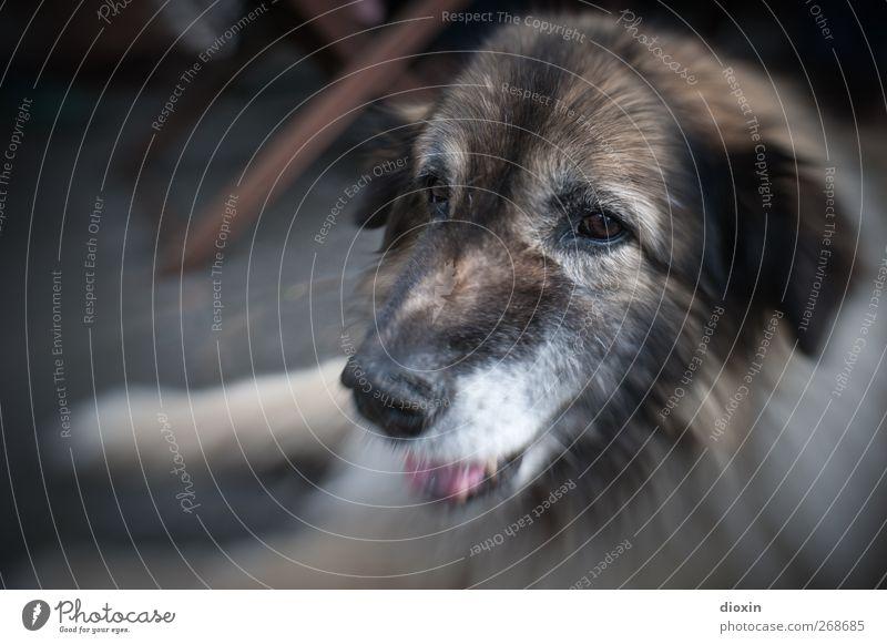 Dog Beautiful Animal Friendship Lie Pelt Animal face Pet Cuddly Loyalty Dog's snout Be confident Shepherd dog