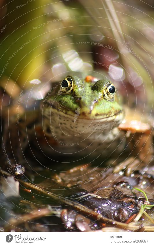 frog Environment Animal Water Leaf Wild animal Frog 1 Green Grüner Frog Blätter leaves Garden frog Frog Prince Frog eyes Colour photo Exterior shot