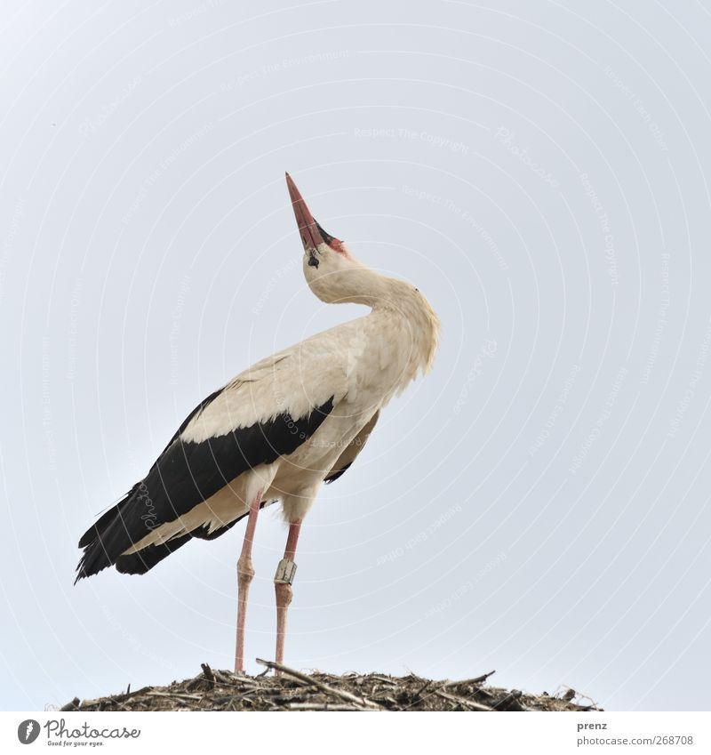 Nature White Animal Black Environment Gray Bird Wild animal Stand Stork White Stork Stork village Linum