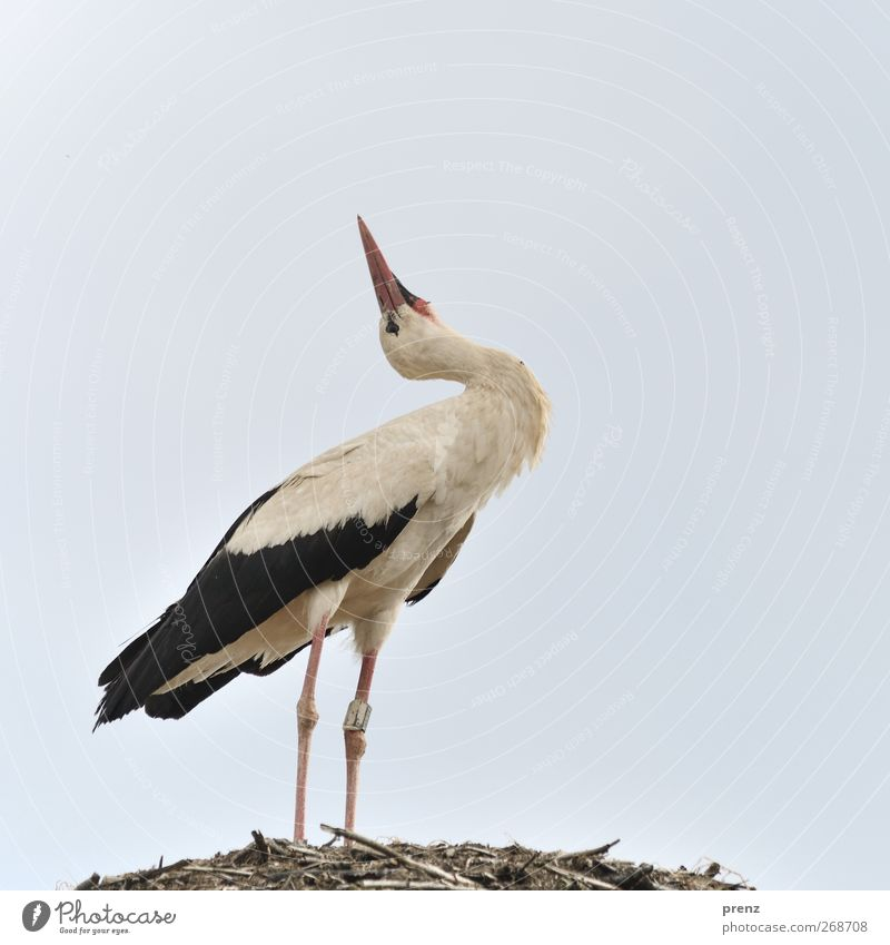 Stork look in the air Environment Nature Animal Wild animal Bird 1 Gray Black White Stork village Linum Stand Colour photo Exterior shot Copy Space top Day