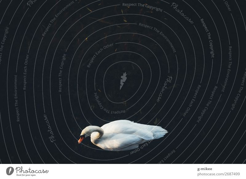 swan Water Animal Swan 1 Elegant Beautiful Rest Freedom Loneliness Colour photo Exterior shot Aerial photograph Copy Space top Copy Space middle Day Contrast