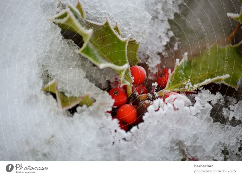 Snow White and Rose Red Nature Plant Earth Winter Climate Leaf Berries Garden Illuminate Cold Green Moody Colour Survive Environment Change Colour photo