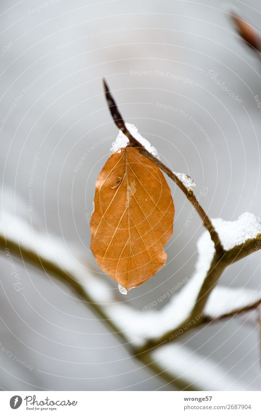 first snow Plant Winter Snow Leaf Forest Brown Gray Black Frost Cold Autumn leaves Winter mood Colour photo Subdued colour Exterior shot Close-up Deserted