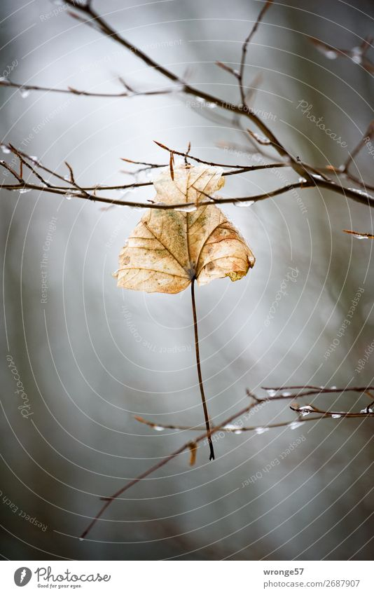 Nature Old Plant Leaf Forest Winter Black Autumn Brown Gray Drops of water Branch Dry Autumn leaves Hang Autumnal