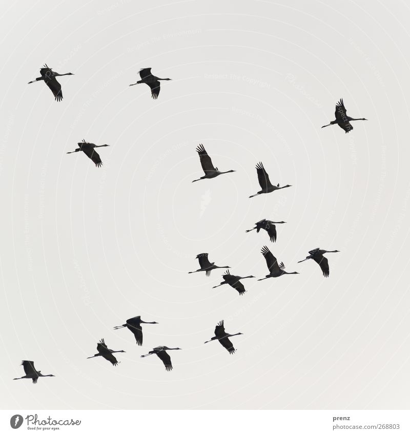 Sky Nature Animal Black Environment Gray Bird Floating Flock Crane
