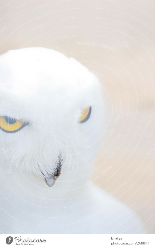 Schn eee ule...333 Wild animal Bird Animal face Owl birds Snowy owl 1 Observe Illuminate Looking Esthetic Exceptional Bright Beautiful Soft Yellow White Brave