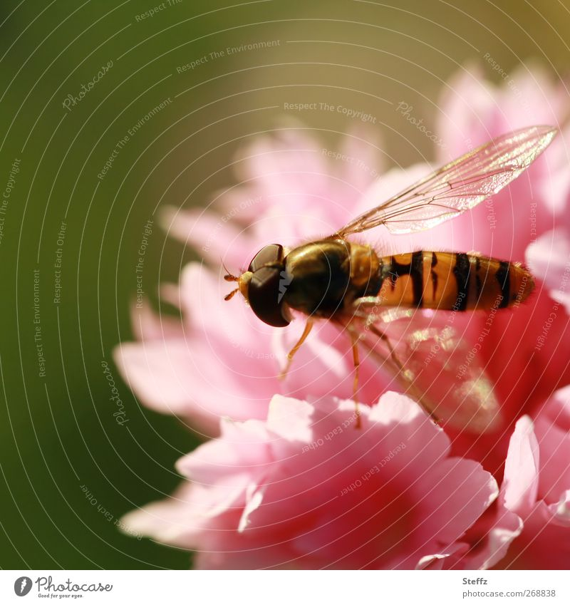 summer feeling Nature Plant Sunlight Summer Flower Dianthus Animal Fly Wing Hover fly Insect Compound eye Legs Fragrance Beautiful Gold Pink Summer feeling