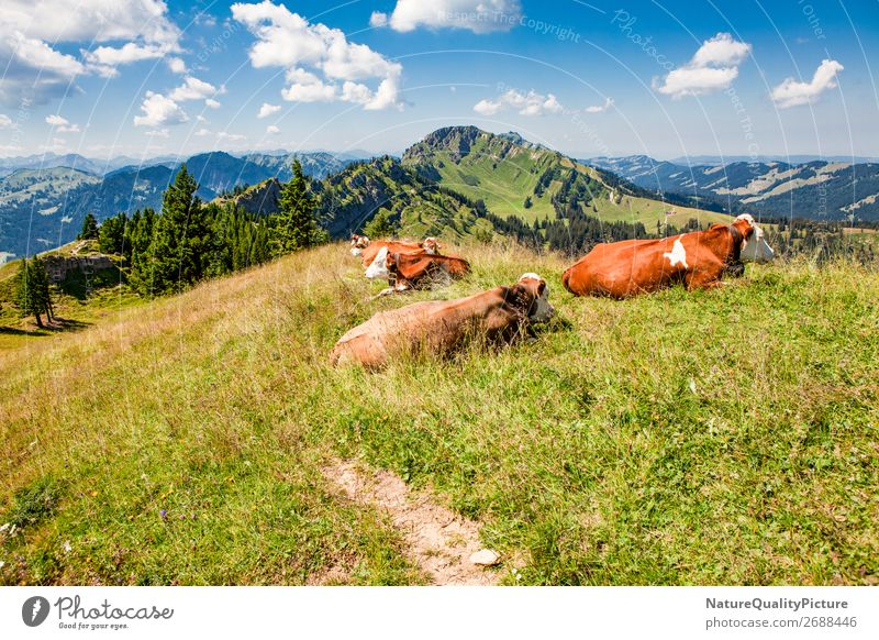 Cows on the summit - Stuiben - Bavaria - Germany Vacation & Travel Tourism Trip Adventure Far-off places Summer Summer vacation Hiking Nature Landscape Sky
