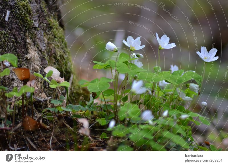 Klee is schee Nature Plant Spring Tree Moss Blossom Four-leafed clover Blossoming Growth Fresh Beautiful Sour Green White Spring fever Happy Senses Environment