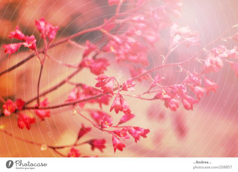 Pink Dream Nature Plant Spring Flower Grass Blossoming Fragrance To enjoy Yellow Gold Red Contentment Spring fever Lovesickness Relaxation Growth