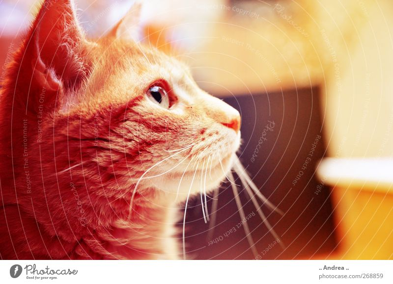 Red Tiger 24 Pet Cat 1 Animal Illuminate Retro Brown Yellow Domestic cat house hangover mietzi roomier Looking Forward Eyes Whisker Purr Ear Listening