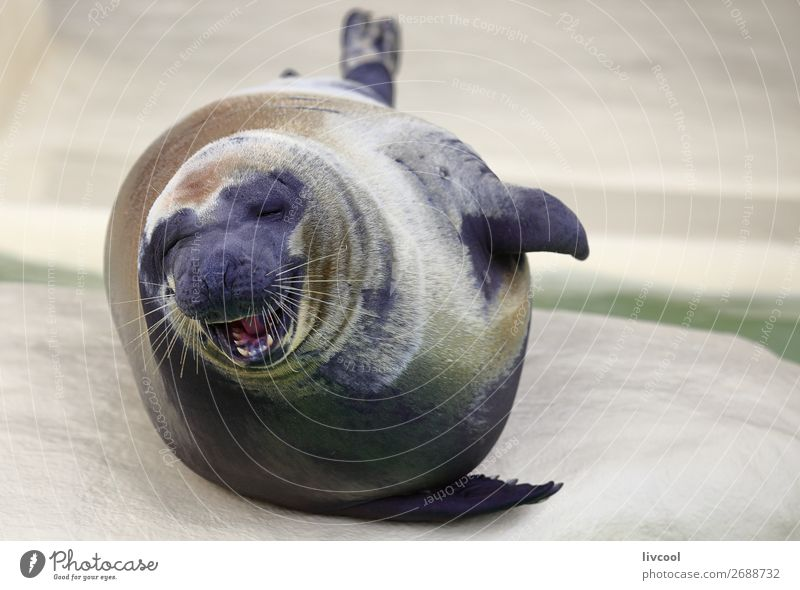 Smiling seal Blue White Animal Natural Funny Coast Happy Gray Sand Europe France Museum Aquarium Snout Moustache
