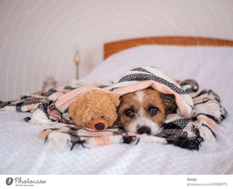 Small dog with teddy bear under a checkered blanket Animal Pet Dog Animal face 1 Toys Teddy bear Wool blanket Bed Sleep Infinity Cuddly Funny Cute Positive