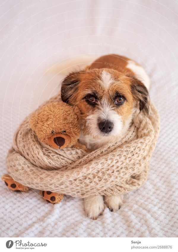 Small dog with a teddy bear on a white blanket Animal Pet Dog 1 Toys Teddy bear Scarf Love Lie Beautiful Kitsch Happy Trust Warm-heartedness Love of animals