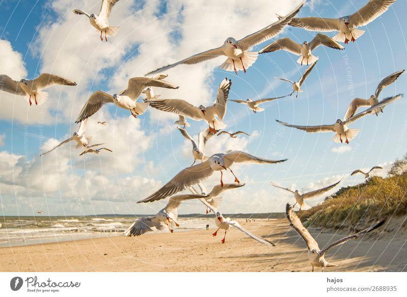 Black-headed gulls fly over a Baltic beach Beach Animal Wild animal Bird Group of animals Blue White wildlife black-headed gulls Flying Deep Flock group birds