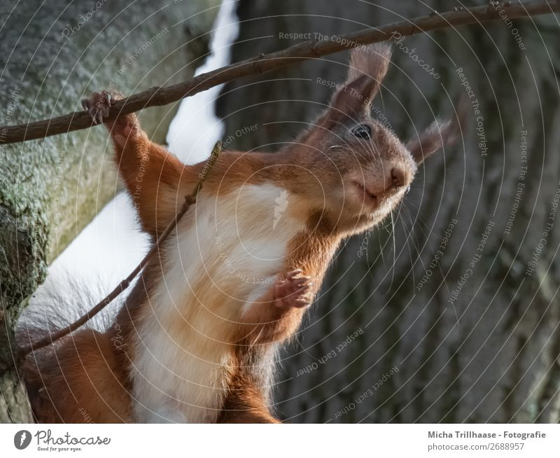Standing squirrel in a tree Nature Animal Sunlight Beautiful weather Tree Wild animal Animal face Pelt Claw Paw Squirrel Rodent Ear Eyes 1 Observe To hold on