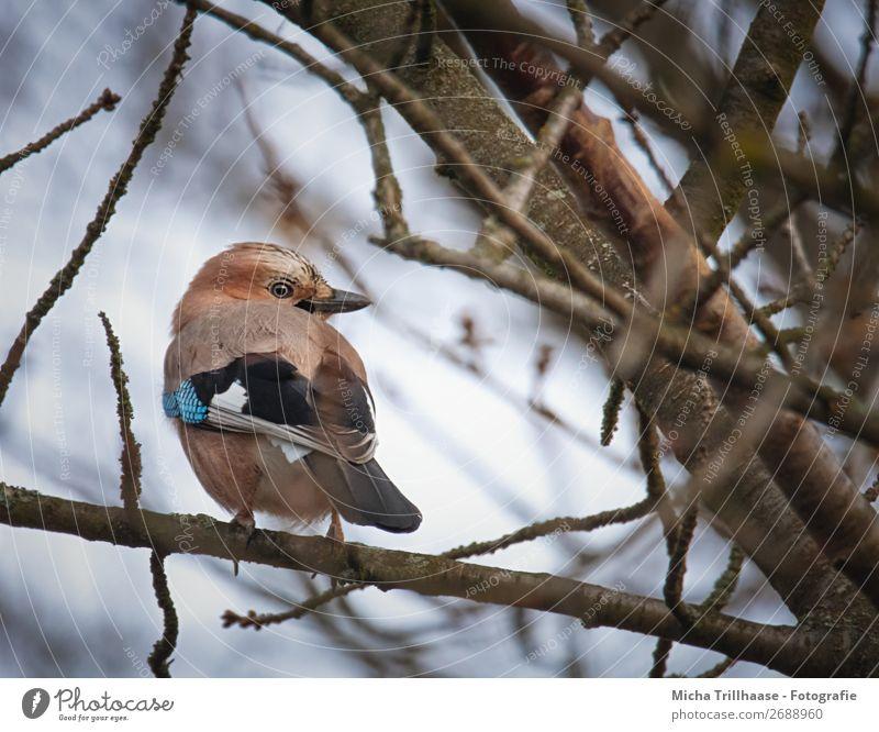 Jay looks around Nature Animal Sky Sunlight Beautiful weather Tree Branch Wild animal Bird Animal face Wing Claw Beak Eyes Feather 1 Observe Looking Sit Near