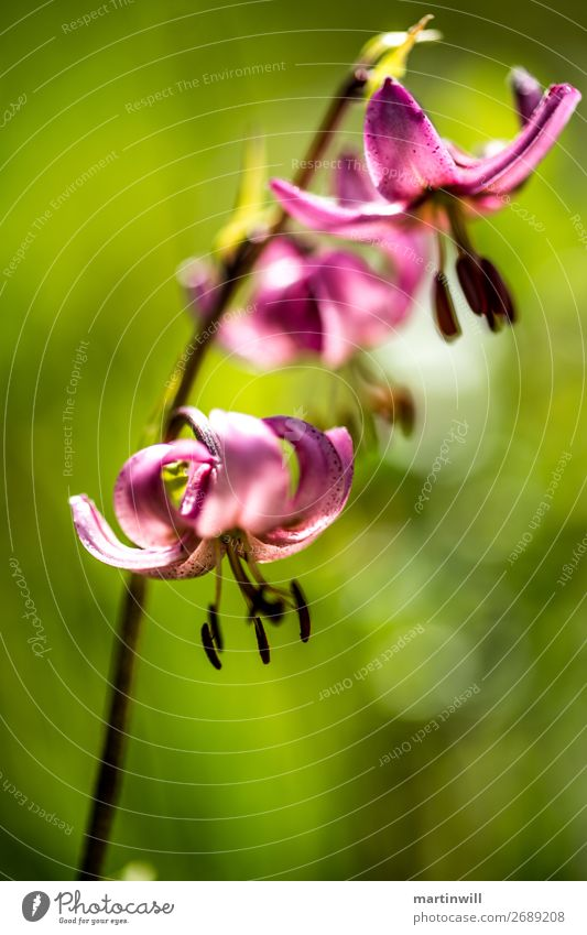 Turkish Lily - Lilium martagon with green Bokeh Style Vacation & Travel Tourism Nature Plant Flower Blossom Turk's cap Lily blossom Dolomites South Tyrol