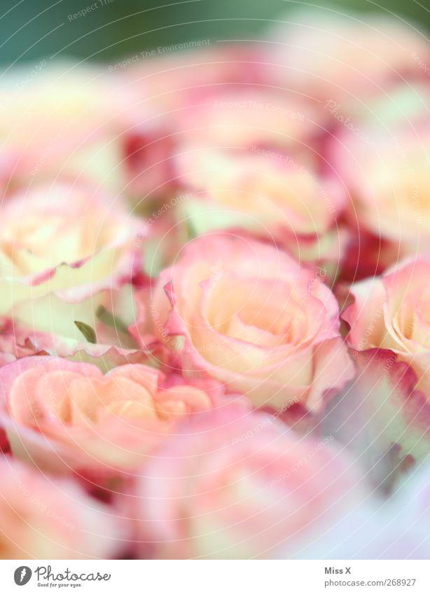 Summer Flower Spring Blossom Pink Blossoming Bouquet Fragrance Rose blossom