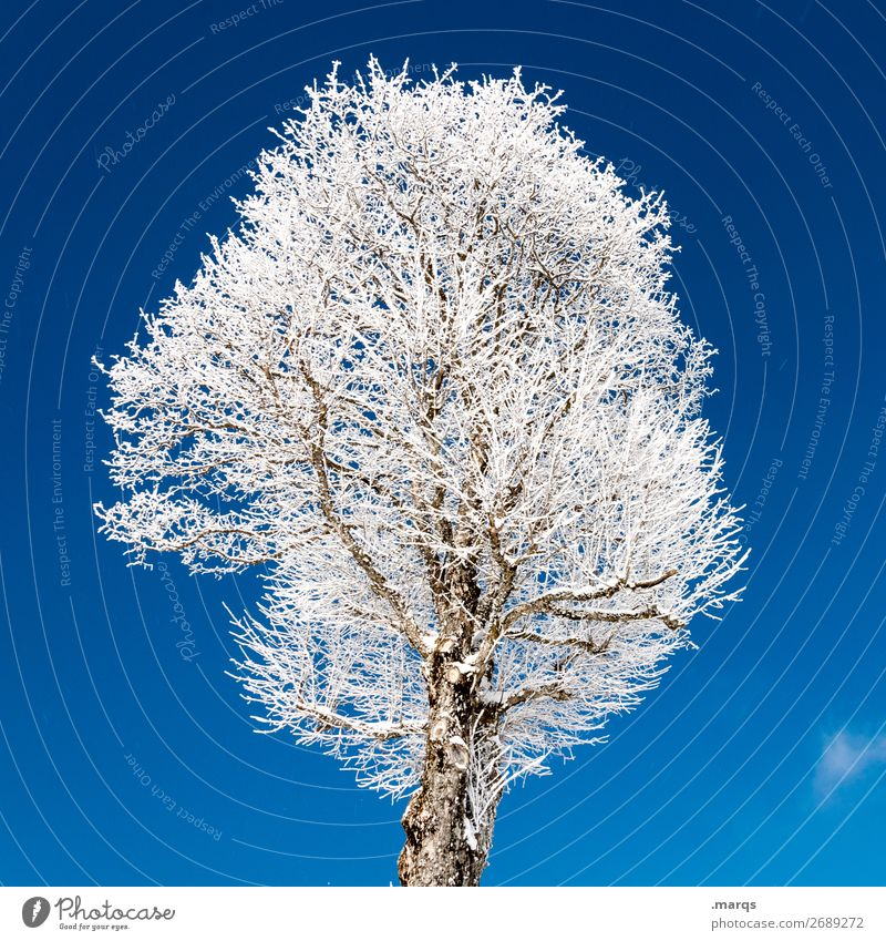 tree iced Nature Cloudless sky Winter Ice Frost Tree Simple Cold Blue White Colour photo Exterior shot Deserted Isolated Image Neutral Background