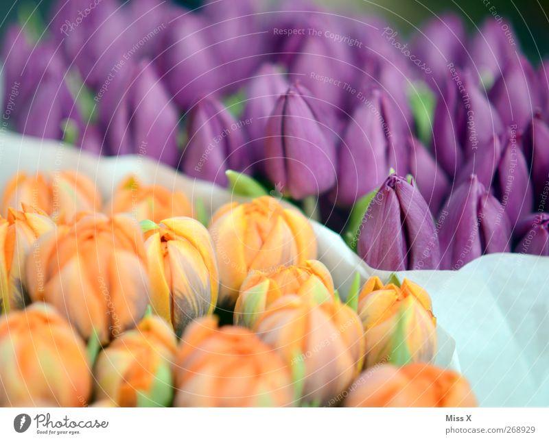 fragrant Spring Flower Tulip Leaf Blossom Blossoming Fragrance Violet Bouquet Tulip blossom Farmer's market Orange Colour photo Multicoloured Pattern Deserted