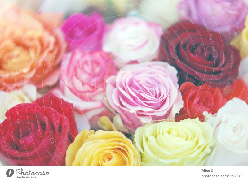 rosy Spring Summer Flower Rose Blossom Blossoming Fragrance Multicoloured Pink Bouquet Mother's Day Rose blossom Many Colour photo Close-up Pattern