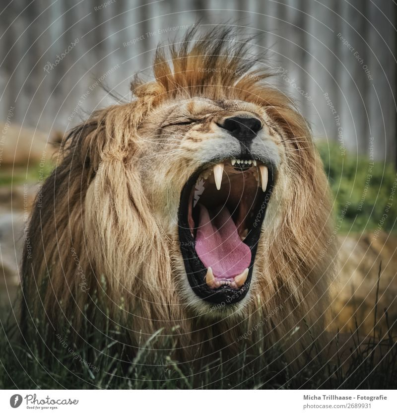 Roaring Lion Nature Animal Sunlight Wild animal Animal face Pelt Zoo Lion's mane Muzzle Set of teeth Tongue 1 Scream Near Yellow Green Orange Black Power