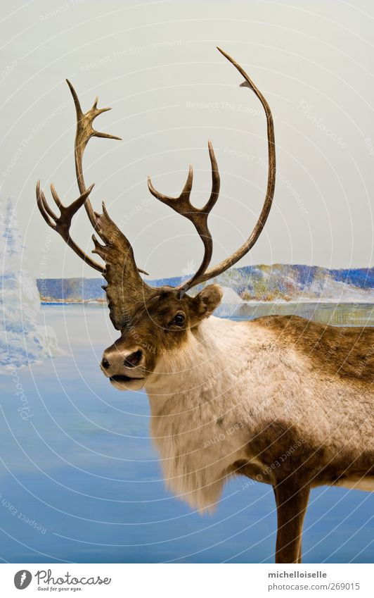 Caribou Closeup Sky Nature Blue White Beautiful Winter Animal Loneliness Cold Snow Lake Brown Wild animal Ground Cool (slang)