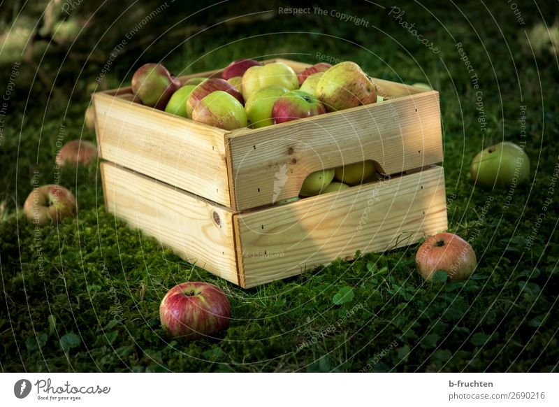 Apple harvest in the garden Food Fruit Organic produce Vegetarian diet Healthy Eating Garden Agriculture Forestry Autumn Box Work and employment Select Fresh