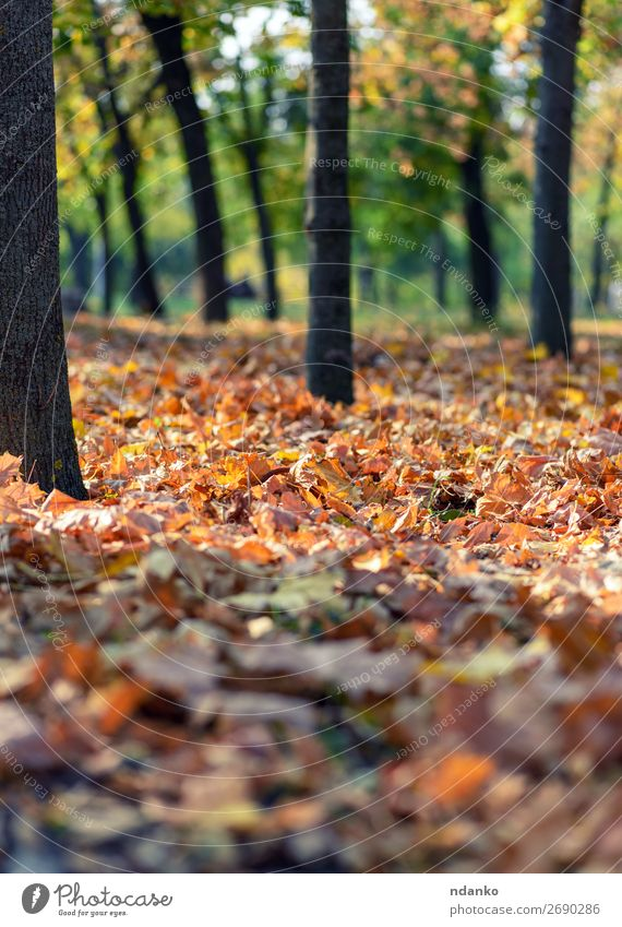 city park with trees and dry yellow leaves - a Royalty Free