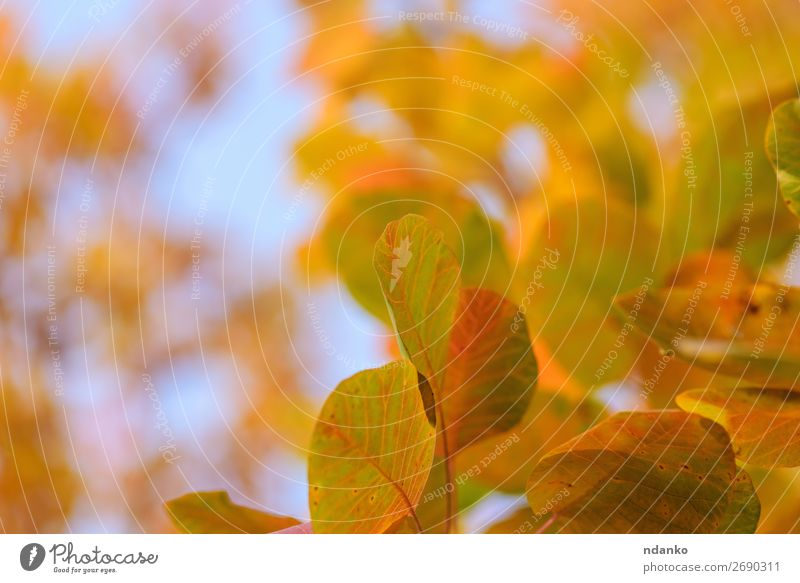 orange and yellow leaves of Cotinus coggygria Garden Nature Landscape Plant Sky Autumn Tree Leaf Park Forest Bright Natural Blue Yellow Red Colour background