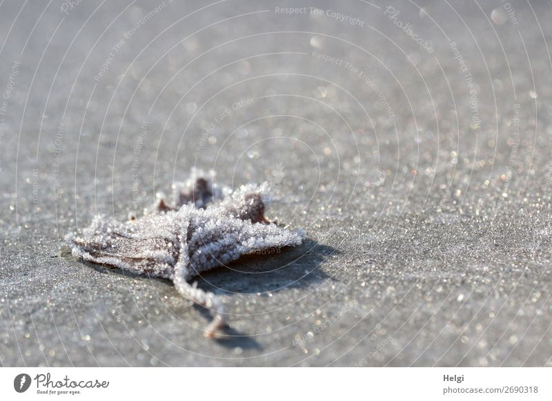 a leaf covered with ice crystals lies on a frosty glittering grey underground Environment Nature Plant Winter Beautiful weather Ice Frost flaked Park Freeze Lie