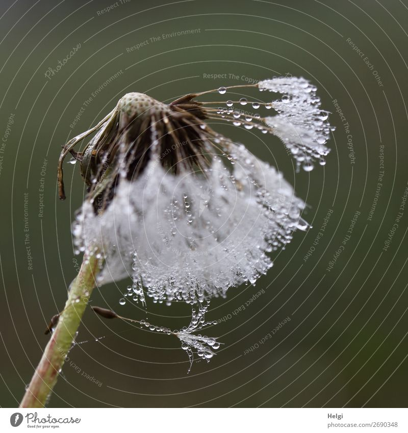 Close-up of a dandelion with many dew drops Environment Nature Plant Drops of water Summer Wild plant lowen tooth Sámen Meadow To hold on hang Exceptional