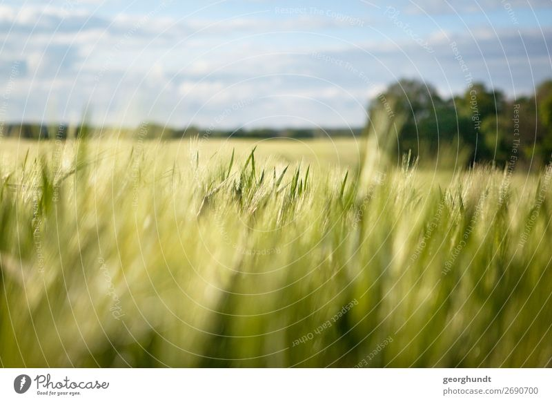 field of depth Environment Landscape Spring Summer Beautiful weather Plant Agricultural crop Field Contentment Joie de vivre (Vitality) Barley Agriculture