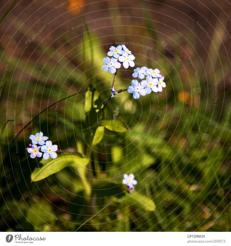 Nature Beautiful Plant Flower Environment Meadow Feminine Garden Park Alps Blossoming Environmental protection Wild plant Forget-me-not