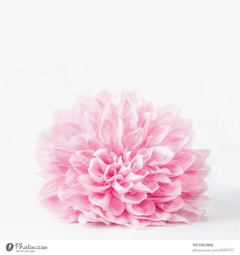Pastel pink flower blossom on white background Design Summer Decoration Feasts & Celebrations Nature Plant Spring Flower Bouquet Soft Pink Style