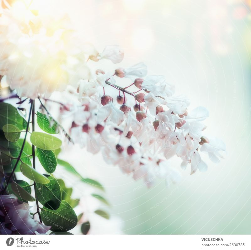 White spring acacia blossom on blurred nature background with bokeh and sunlight, close up. Abstract floral springtime nature , outdoor white abstract medicine