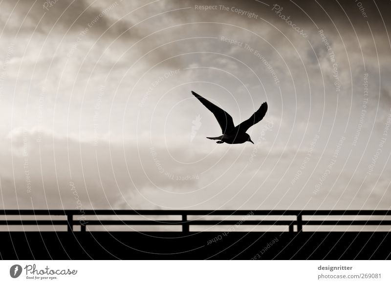 The last word Environment Sky Clouds Wild animal Bird Wing Seagull seabird 1 Animal Flying Dark Free Hope Longing Homesickness Wanderlust Freedom Peace